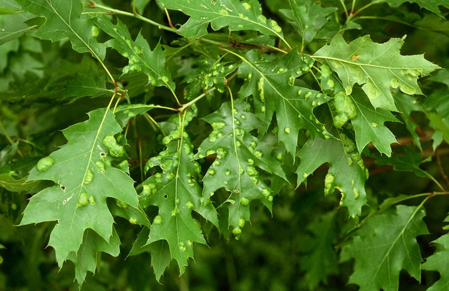 Arbre feuille rouge good cotinus en automne cap paris e - Maladie du chene vert arbre ...